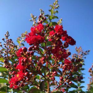 Crape Myrtle Colorama™ Scarlet