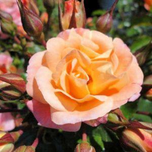Rose Drift® Peach