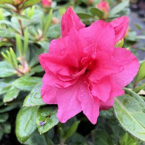 Azalea Encore® Autumn Rouge®