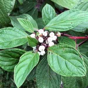 Dogwood, Red Twig Arctic Fire®