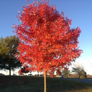 Maple Red October Glory