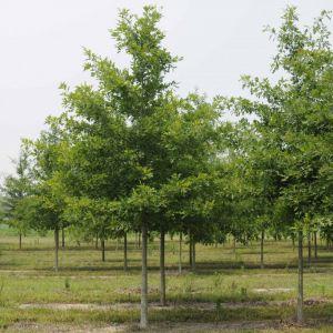 Oak Nuttall