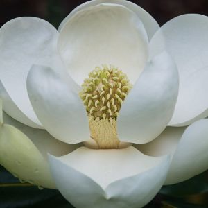 Magnolia Southern Bracken's Brown Beauty