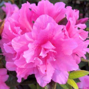 Azalea Encore® Autumn Carnation®