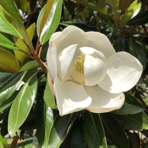 Magnolia Southern Little Gem