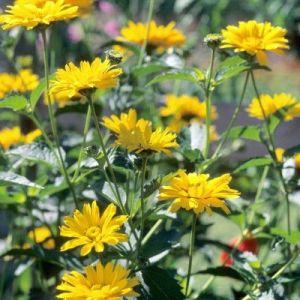 False Sunflower Tuscan Sun