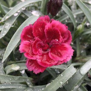 Pinks EverLast™ Burgundy Blush