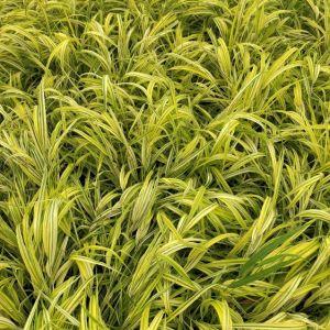 Grass Hakone Aureola