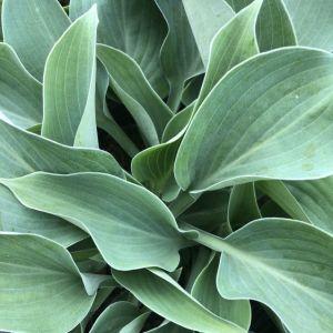 Plantain Lily Blue Cadet