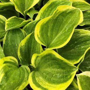 Plantain Lily Golden Tiara