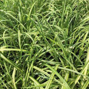 Grass Maiden Cabaret