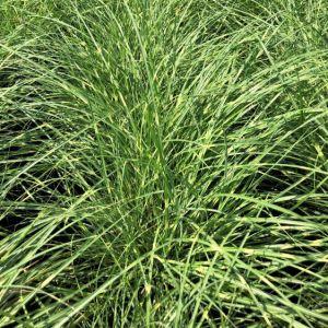 Grass, Maiden Little Zebra