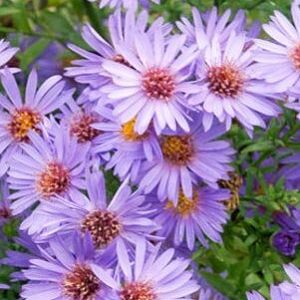 Aster Wood's Blue