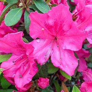 Azalea Encore® Autumn Sangria®