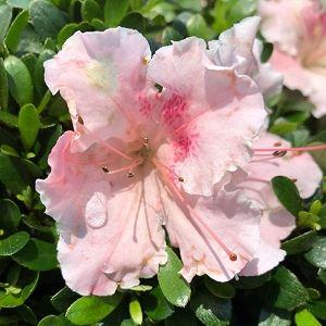 Azalea Satsuki Gumpo Pink
