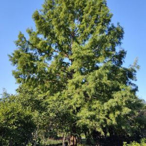 Cypress Bald