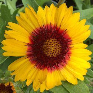 Blanket Flower Mesa Bright Bicolor