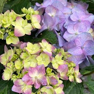 Hydrangea Endless Summer Bloomstruck