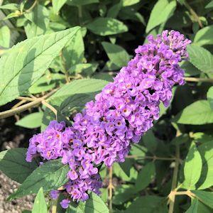 Butterfly Bush Blue Chip Jr.
