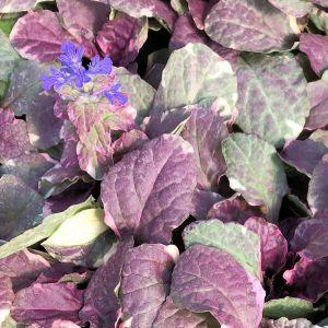 Bugleweed Burgundy Glow