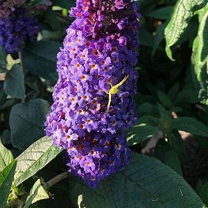 Butterfly Bush Pugster Blue®