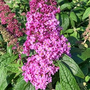 Butterfly Bush Pugster Pink®