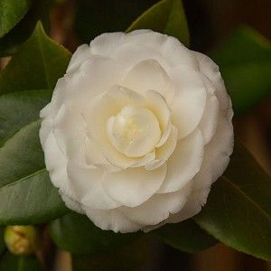 Camellia Spring-blooming White