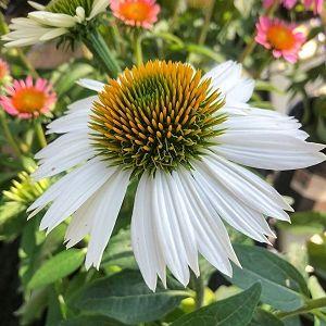 Coneflower Powwow White