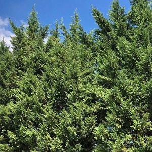 Cypress Leyland