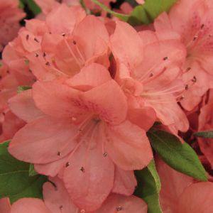 Azalea Blaauw's Pink
