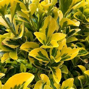 Euonymus Golden