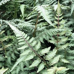Fern Japanese Painted