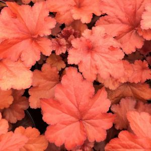 Coral Bells Forever® Red