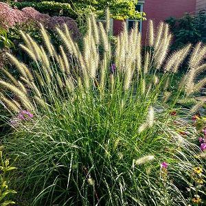 Fountain Grass Dwarf Hameln
