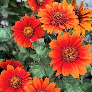 False Sunflower Bleeding Hearts