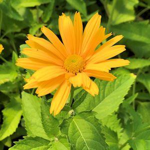 False Sunflower Summer Sun