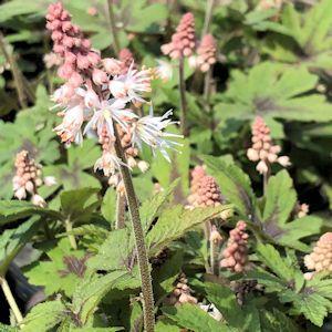 Foamflower Spring Symphony