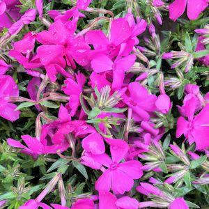 Creeping Phlox Drummond's Pink