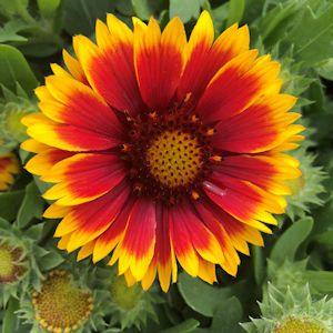 Blanket Flower Arizona Sun