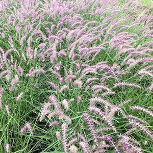 Oriental Grass Pink Fountain