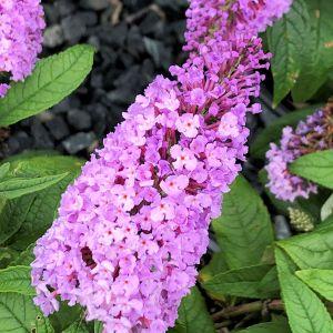 Butterfly Bush Pugster Amethyst®