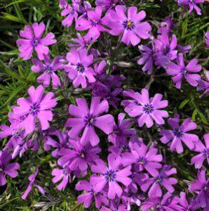 Creeping Phlox Purple Beauty