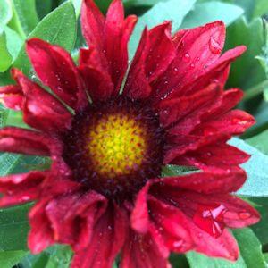 Blanket Flower Mesa Red