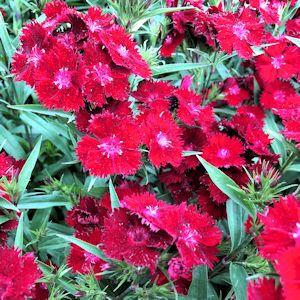 Sweet William Rockin'™ Red