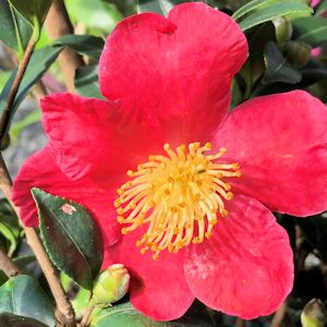 Camellia Fall-blooming Red