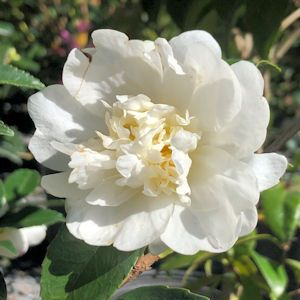 Camellia Fall-blooming White