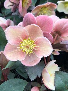 Lenten Rose Penny's Pink