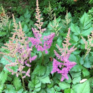 Astilbe Purple Candles