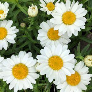 Shasta Daisy Snowcap