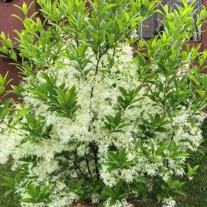 Fringetree White